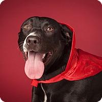 Adopt A Pet :: Daffodil - Dallas, TX