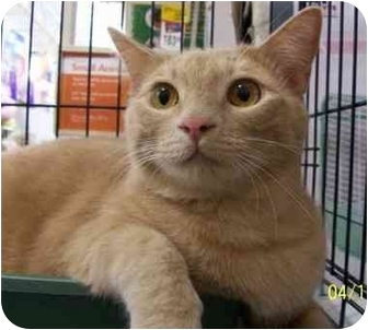 Domestic Mediumhair Cat for adoption in Chattanooga, Tennessee - Nate
