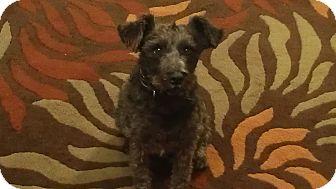 Schnauzer (Miniature) Dog for adoption in Chandler, Arizona - Capri