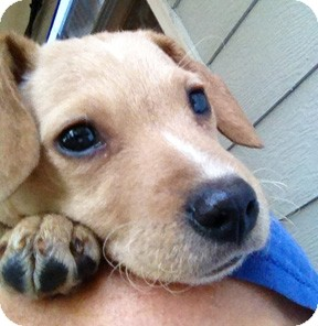 Hound (Unknown Type) Mix Puppy for adoption in Richmond, Virginia - Juniper