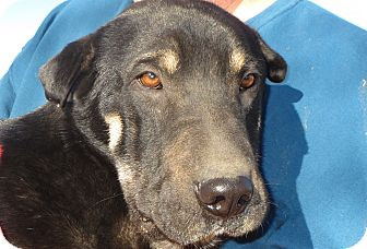 German Shepherd Dog/Shar Pei Mix Dog for adoption in Greenville, Rhode Island - Lucas