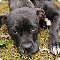 Adopt A Pet :: Pattie - Chicago, IL