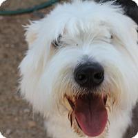 Adopt A Pet :: Shiloh - Phoenix, AZ