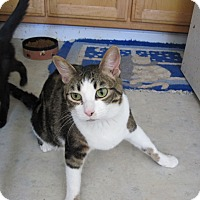 Domestic Shorthair Cat for adoption in San Ramon, California - Sara