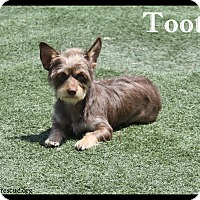 Adopt A Pet :: Tootsie - Rockwall, TX
