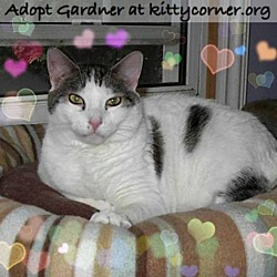 Photo 1 - Domestic Shorthair Cat for adoption in Liverpool, New York - Gardner