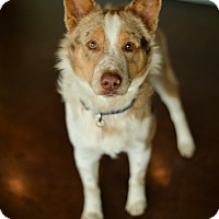Adopt A Pet :: Elliot - San Antonio, TX