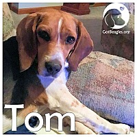 Adopt A Pet :: Tom - Pittsburgh, PA