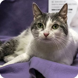 Domestic Shorthair Cat for adoption in Wheaton, Illinois - Peewee