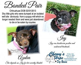 Chihuahua Dog for adoption in Boyd, Texas - Azalea