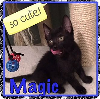 Domestic Shorthair Kitten for adoption in Orange, California - Magic