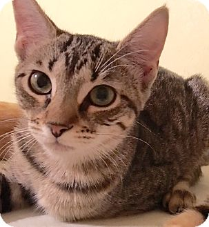 Domestic Shorthair Kitten for adoption in Metairie, Louisiana - Farrah - Brown Tabby w/Orange