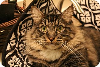 Maine Coon Cat for adoption in Whittier, California - Kodiak (Giant cuddler!)