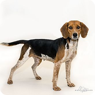 Beagle Dog for adoption in Naperville, Illinois - Sweet Pea