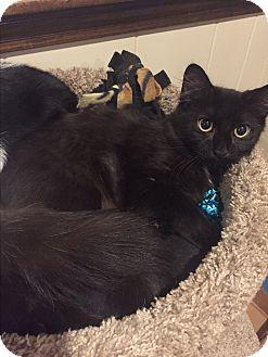Domestic Mediumhair Kitten for adoption in Plainville, Massachusetts - Rain