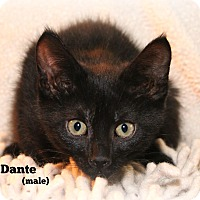 Domestic Shorthair Kitten for adoption in Glen Mills, Pennsylvania - Dante