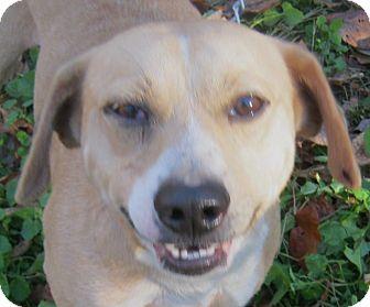 Beagle Mix Dog for adoption in Hillsboro, Ohio - Bowser