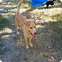 Adopt A Pet :: Honey Bear - Roanoke, VA