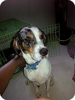 Catahoula Leopard Dog/Hound (Unknown Type) Mix Dog for adoption in Staunton, Virginia - Freckles