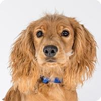 Adopt A Pet :: Maple - St. Louis Park, MN