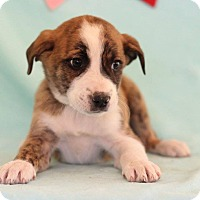 Adopt A Pet :: Umar - Waldorf, MD