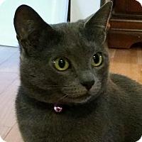 Adopt A Pet :: Raven - Germantown, MD