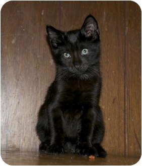 Domestic Mediumhair Kitten for adoption in New Egypt, New Jersey - Bryce