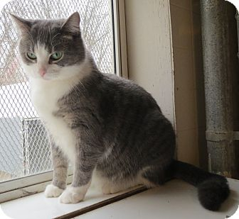 Domestic Shorthair Cat for adoption in Geneseo, Illinois - Buttons