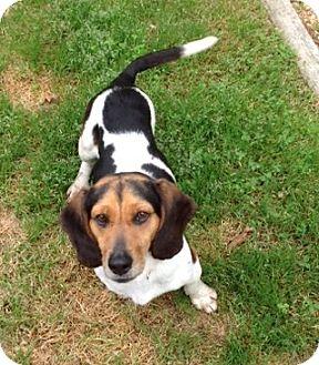 Beagle Mix Dog for adoption in Richmond, Virginia - Mia