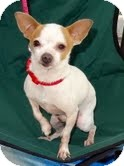 Chihuahua Mix Dog for adoption in Santa Monica, California - Chester