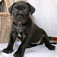 Adopt A Pet :: Pip - Gilbert, AZ