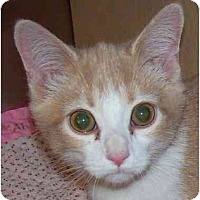 Adopt A Pet :: Dreamsicle - Annapolis, MD