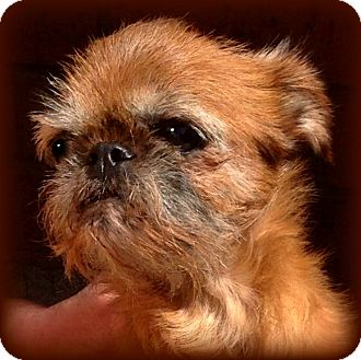GINNY - ADOPTION PENDING   Adopted Dog   Seymour, MO ... Adopt A Brussels Griffon Puppy