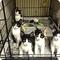 Adopt A Pet :: Sweet kittens! - Queens, NY