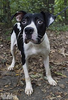 Hound (Unknown Type) Mix Dog for adoption in Mooresville, North Carolina - Nina (Wanted Litter Momma)