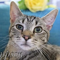 Domestic Shorthair Cat for adoption in knoxville, Tennessee - Sampson $45 Male