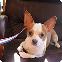 Chihuahua Mix Dog for adoption in Willows, California - Andrew