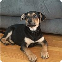 Adopt A Pet :: Harley - Charlestown, RI