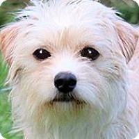 Adopt A Pet :: TINKER(SO TINY-SO ADORABLE!!) - Wakefield, RI