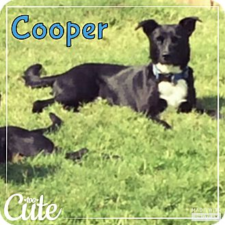 Labrador Retriever Mix Dog for adoption in Rowlett, Texas - Cooper