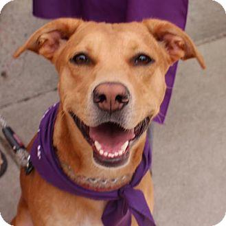 Shepherd (Unknown Type)/Hound (Unknown Type) Mix Dog for adoption in Littleton, Colorado - Corinne