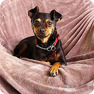 Miniature Pinscher Mix Dog for adoption in Mission Viejo, California - Ethel