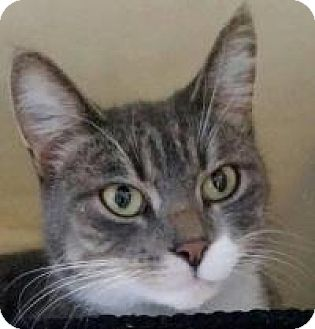 Domestic Shorthair Cat for adoption in Warren, Michigan - Tiger Lily