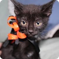 Domestic Shorthair Kitten for adoption in Jefferson, North Carolina - Onyx