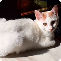 Turkish Van Kitten for adoption in Houston, Texas - Sander