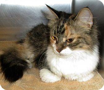 Domestic Mediumhair Cat for adoption in Covington, Virginia - Molly Sue