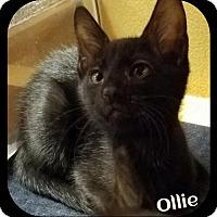 Adopt A Pet :: Ollie (SLK/LB) 8.21.16 - Orlando, FL