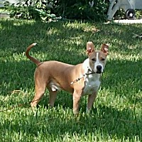 American Staffordshire Terrier Dog for adoption in Tampa, Florida - Cooper