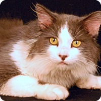 Domestic Mediumhair Cat for adoption in Newland, North Carolina - Adidas