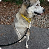Husky Dog for adoption in Irwin, Pennsylvania - Nikko